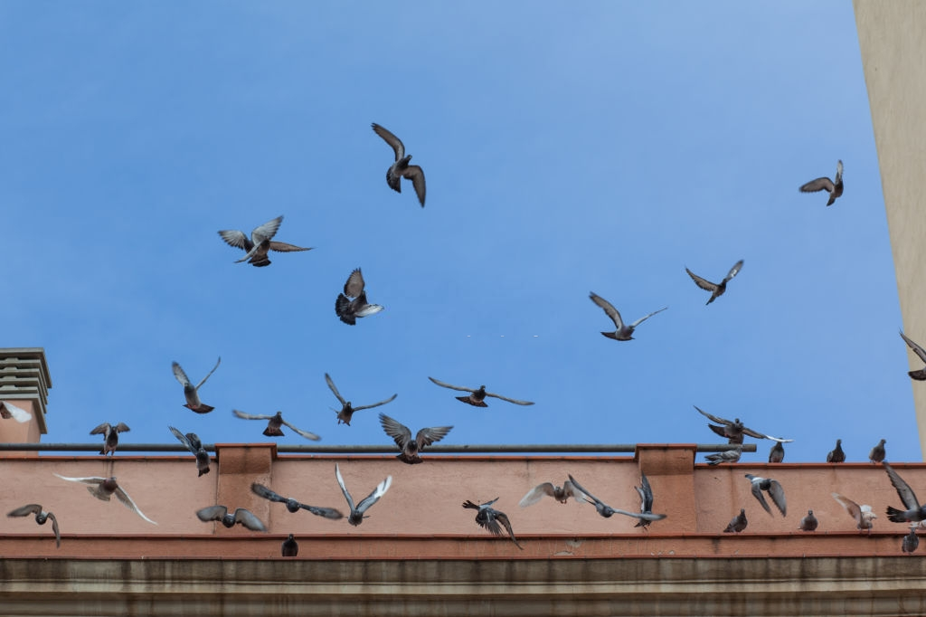 Pigeon Control, Pest Control in Camberwell, SE5. Call Now 020 8166 9746