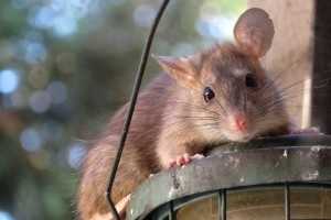 Rat Infestation, Pest Control in Camberwell, SE5. Call Now 020 8166 9746