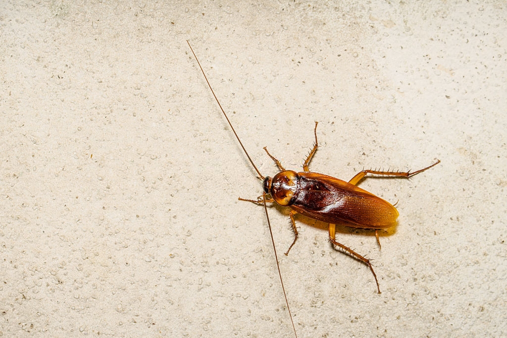 Cockroach Control, Pest Control in Camberwell, SE5. Call Now 020 8166 9746